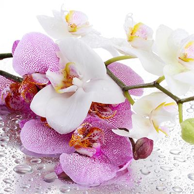 Нежные орхидеи (AL-30)